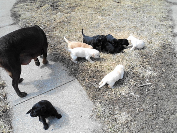 Puppies first day outside with mom.