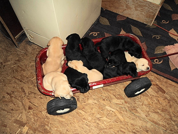 Wagon full of puppies!